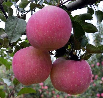 清水县丰望乡花牛苹果 12粒礼品盒装 果径约70mm /包邮