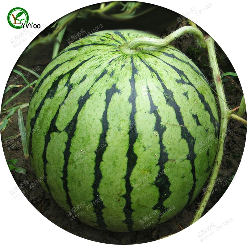 Watermelon Seeds Delicious Fruit Mini Potted Fruit Tree Seed