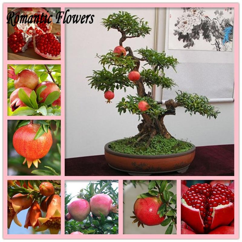 Bonsai Pomegranate , Very Sweet And Delicious Fruit Seeds ,