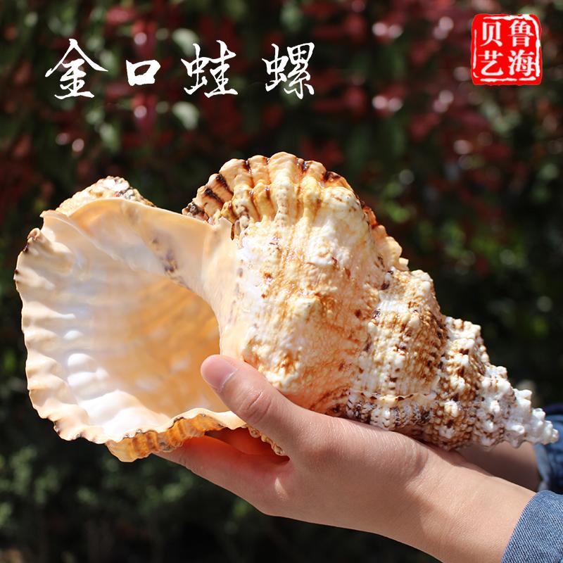 eksport af frø, havet - smykker, naturlige fisk guld konkylie - sving pinchuang med hjem - havet cylinder landskab dekoration.