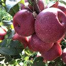 云南苹果5斤冰糖心非昭通丑苹果