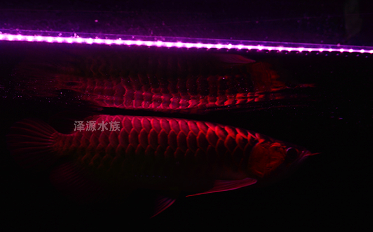 tank - lampa en lampa röda draken bentunga ledde en rad ytterst liuzhou liang fisklampa delaktig.