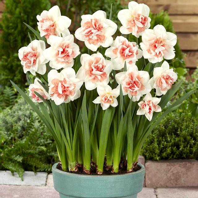 水仙花种球秋冬花卉水培养室内绿植四季种易盆栽桌面净化空气水仙