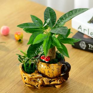 发财树室内盆栽植物花卉盆栽观花植物室内客厅小盆景招财树吸甲醛