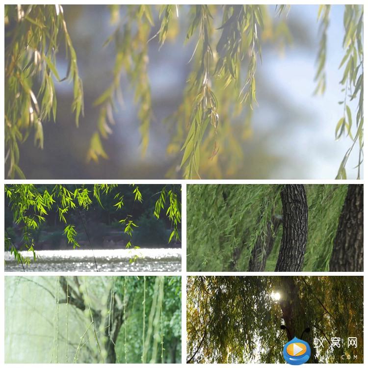 S1980 实拍柳树 柳条各种场景角度春天夏天视频素材