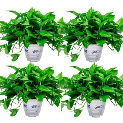 绿萝盆栽室内植物吸甲醛进化空气水培绿植懒人长藤大绿箩花卉
