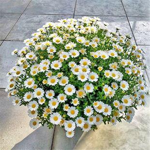 小雏菊种子四季种易活开花不断室内外花卉植物花种籽子盆栽耐寒花