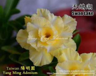 Тэнг Хонг цөлийн сарнай хун хун Янмингюан Тайвань Давхар дэлбэн цөл сарнай 2018 зуны шинэ цуглуулга