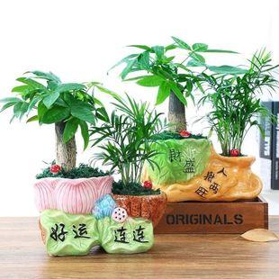 发财树盆栽绿植花卉富贵竹荷花竹植物盆栽办公室内桌面植物小盆景