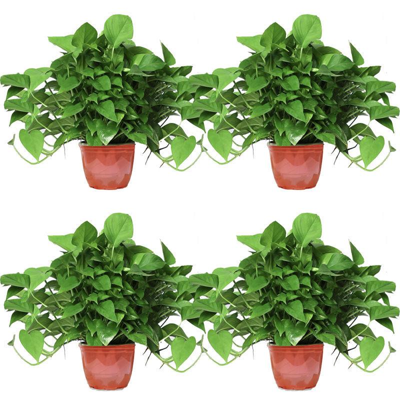 绿萝盆栽室内水养绿箩花卉吊兰水养大绿萝苗
