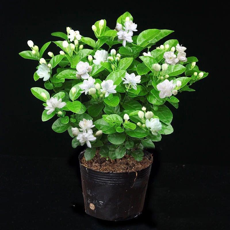 特价茉莉花盆栽室内带盆景浓香夏季开花苞